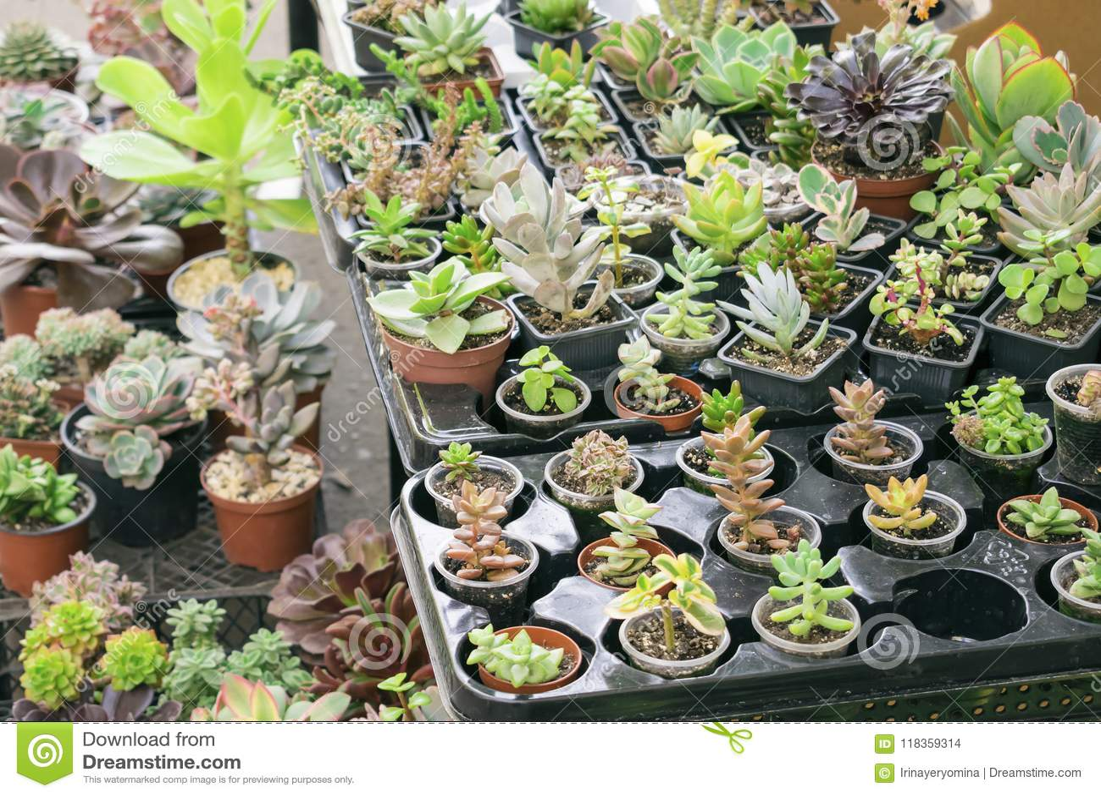 Olika typer av den suckulenta växten lägger in - echeveriaen, sempervivum, f