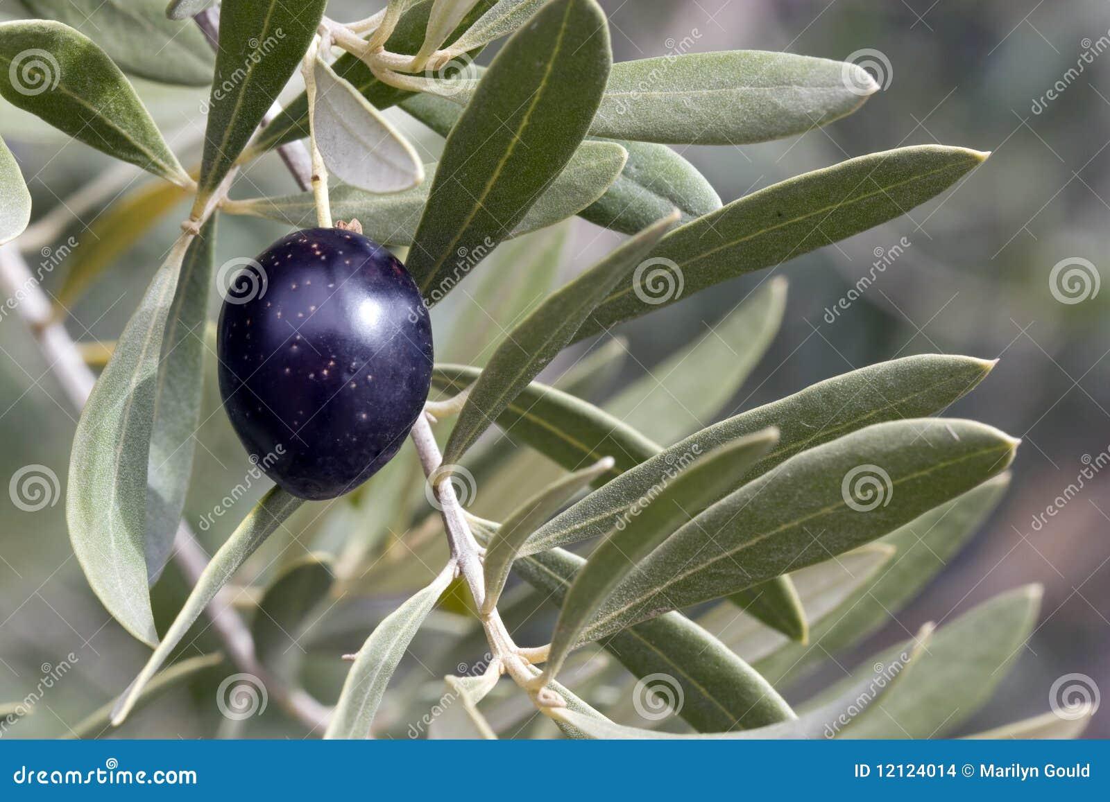 Oliva in albero - il nero
