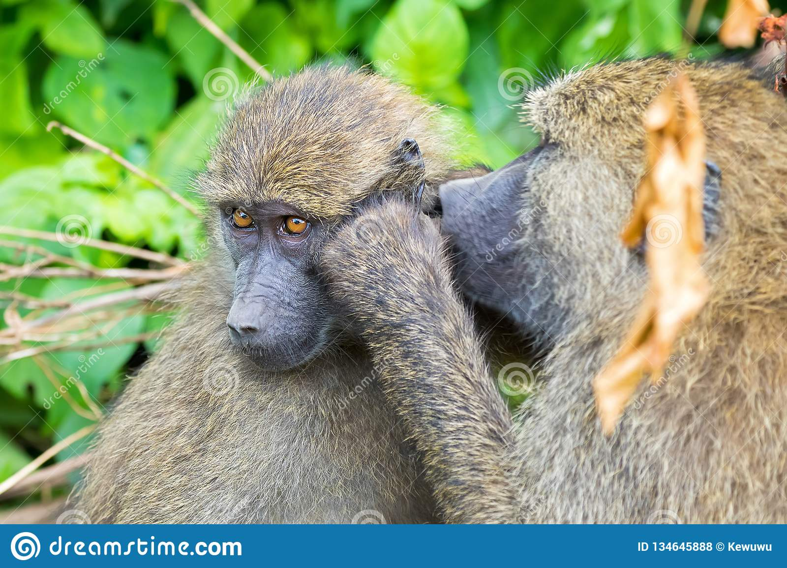 Olive Baboon, old world monkey with olive green coat looking for bug in Tanzania, East Africa