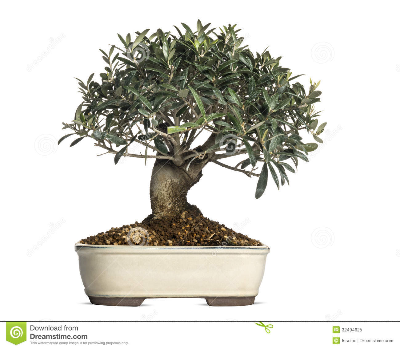 Olive, Bonsai Tree, Olea Europaea, Isolated Royalty Free Stock Photo ...