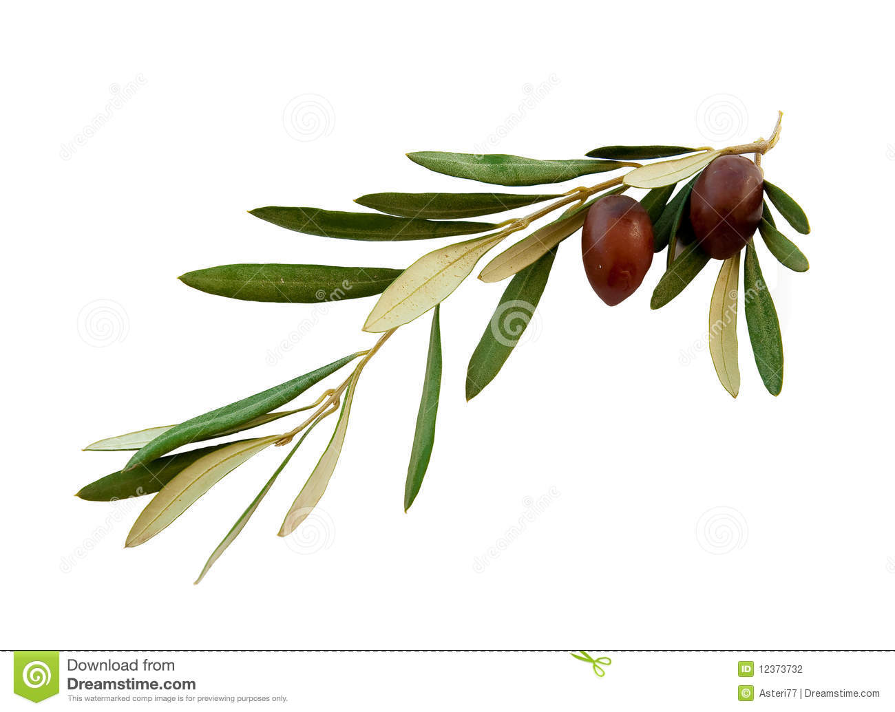 Olive Branch With Green Leaves On A White Stock Photo Image Of