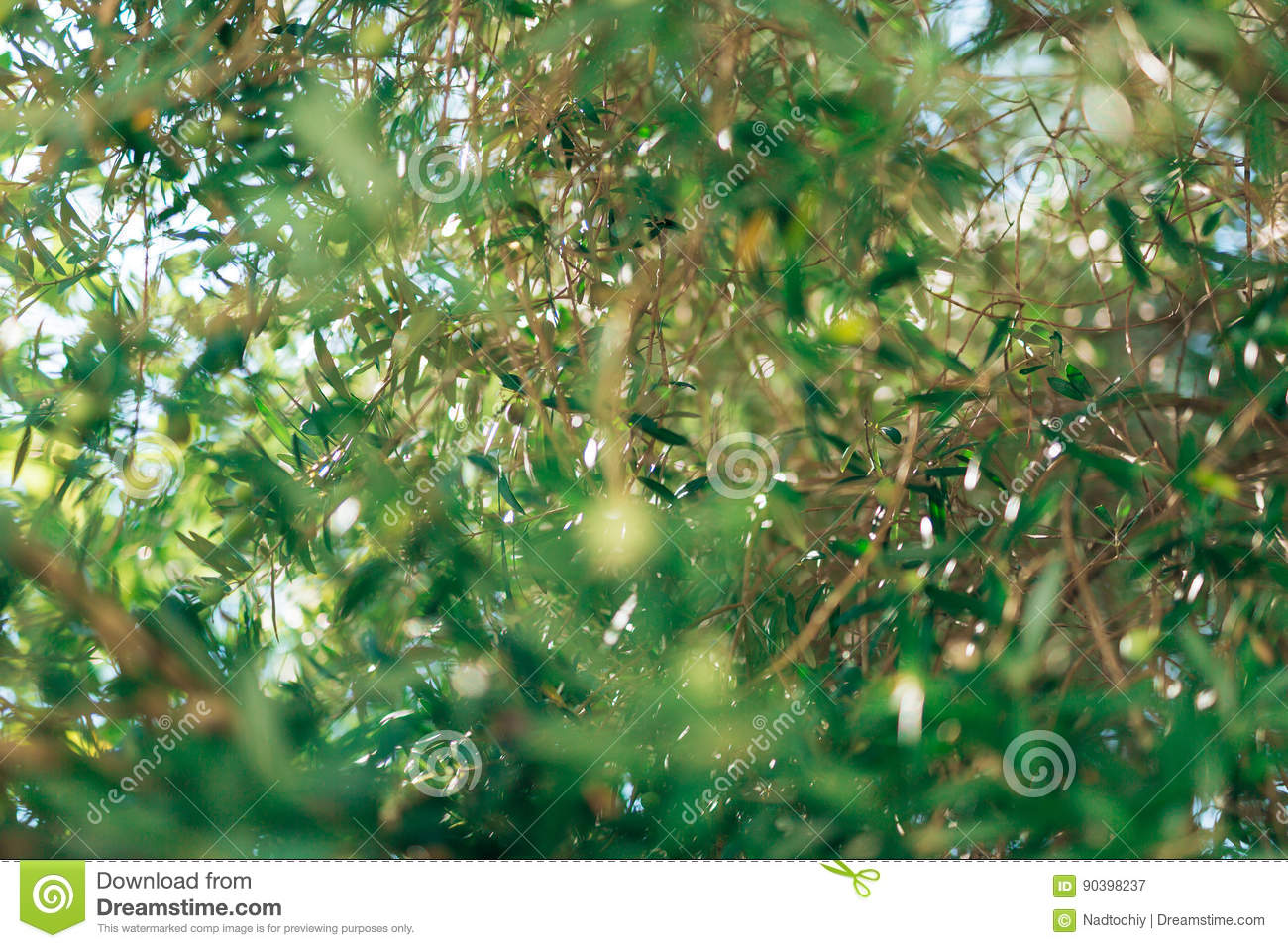 Olive Branch With Leaves Close Up Olive Groves And Gardens In M Stock Photo Image 90398237: what time does the olive garden close