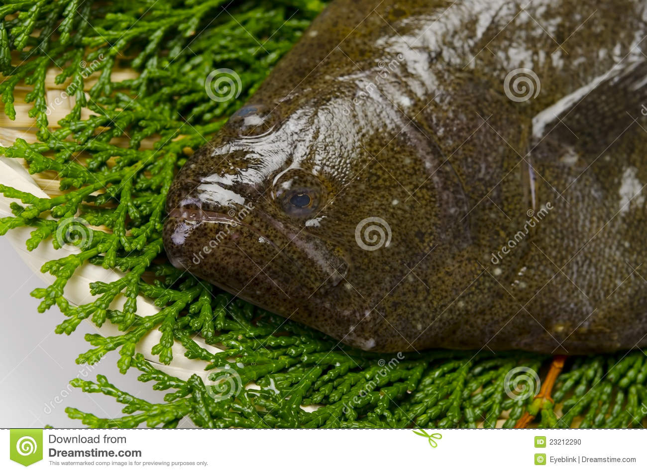 25 Series Flounder Photos Free Royalty Free Stock Photos From Dreamstime ··· olive flounder in the jeju island farms. 25 series flounder photos free royalty free stock photos from dreamstime