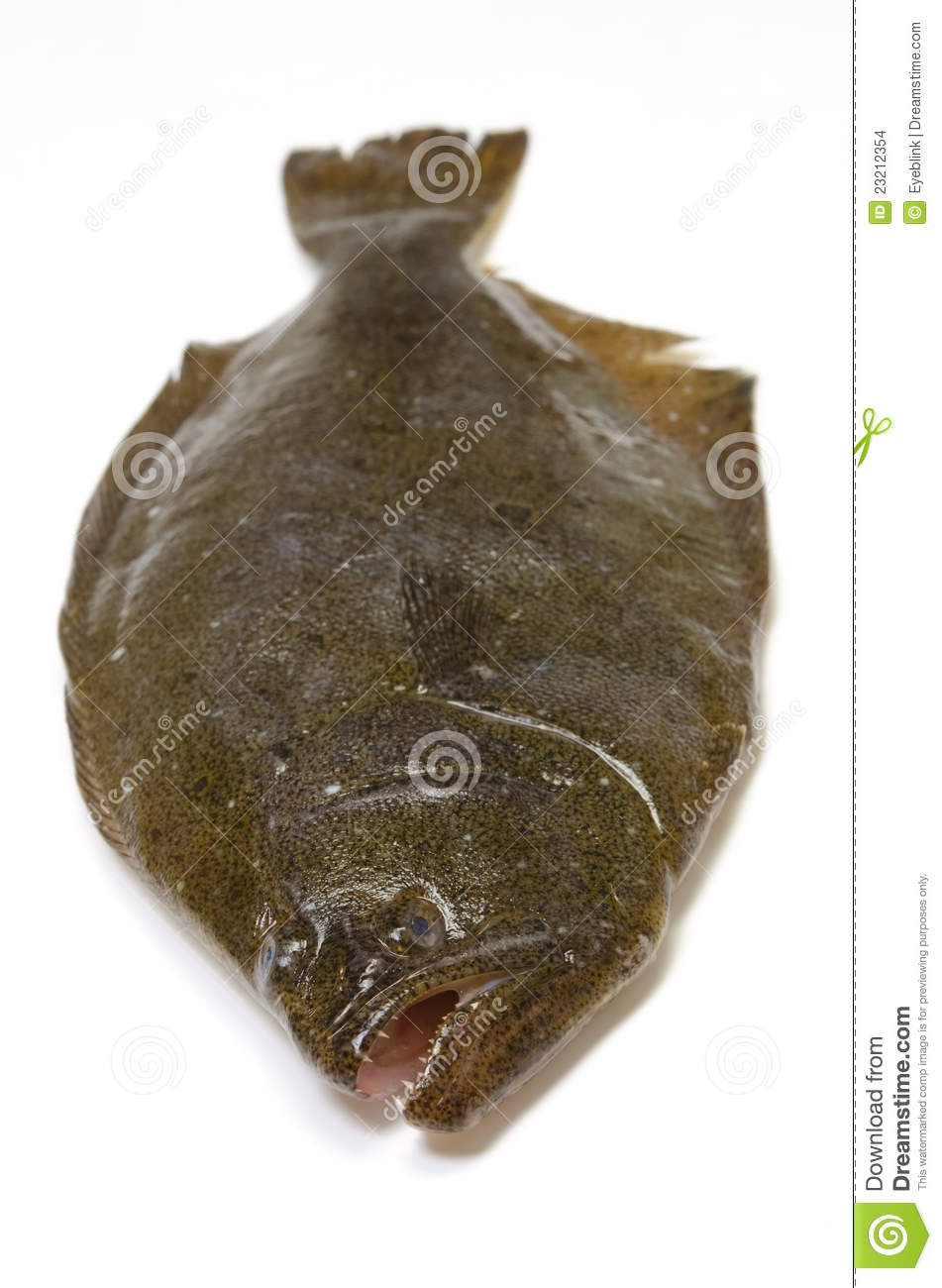 Olive Flounder Photos Free Royalty Free Stock Photos From Dreamstime Stream tracks and playlists from oliveflounder on your desktop or mobile device. dreamstime com