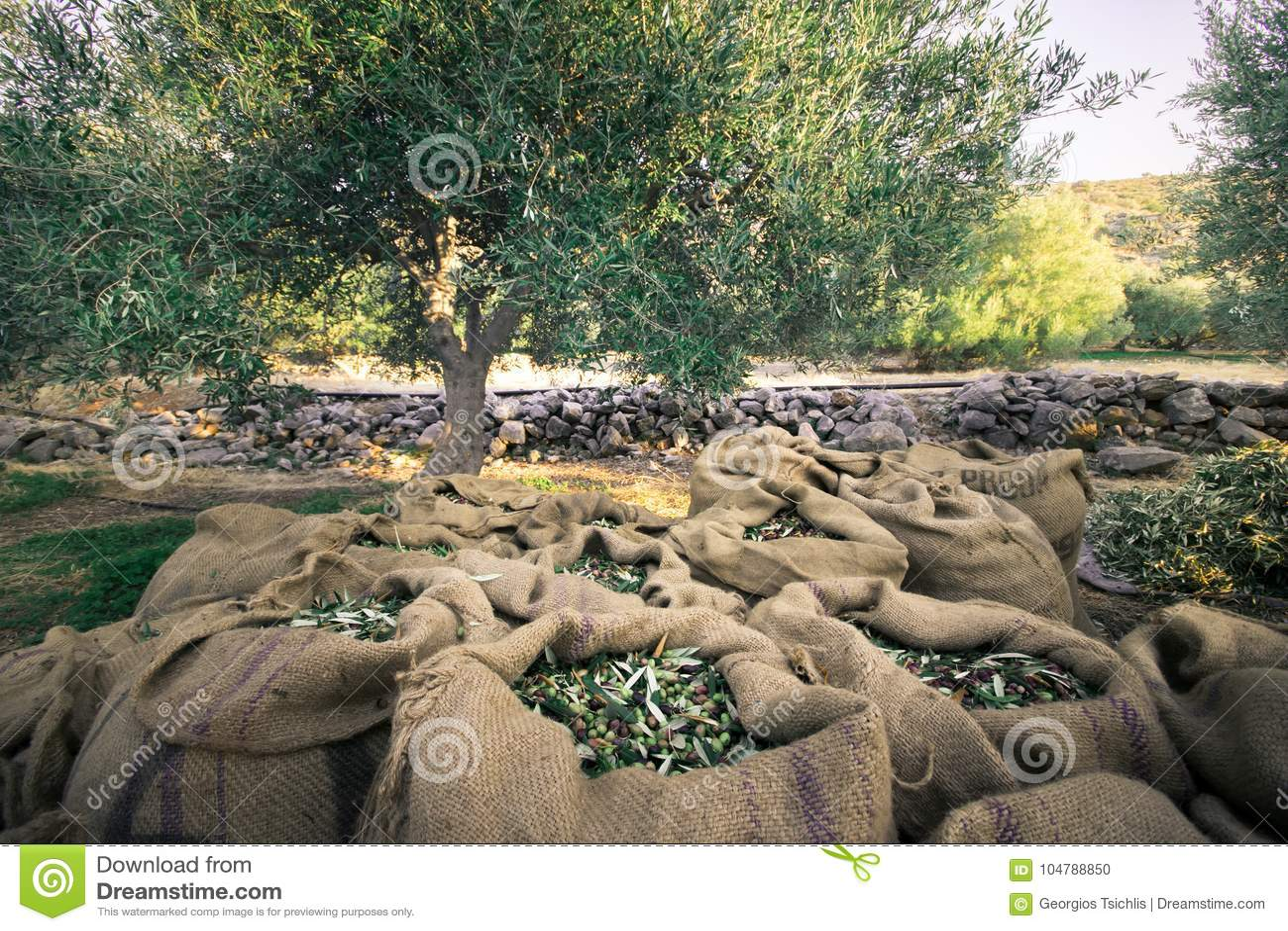 Olive fresche che raccolgono dagli agricoltori in un campo di di olivo per produzione di petrolio di olio d oliva vergine extra