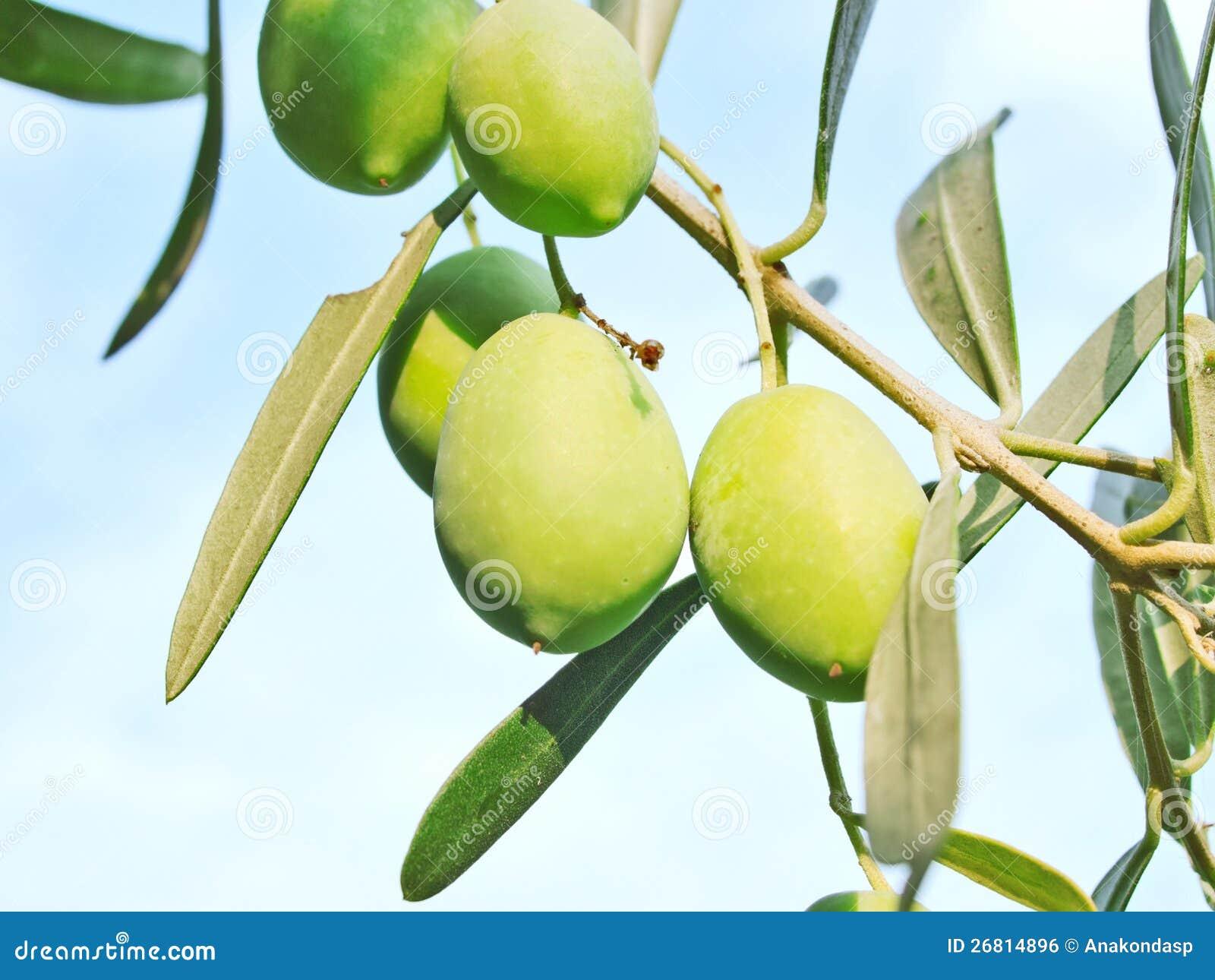 Olive Fruit Tree Royalty Free Stock Image - Image: 26814896