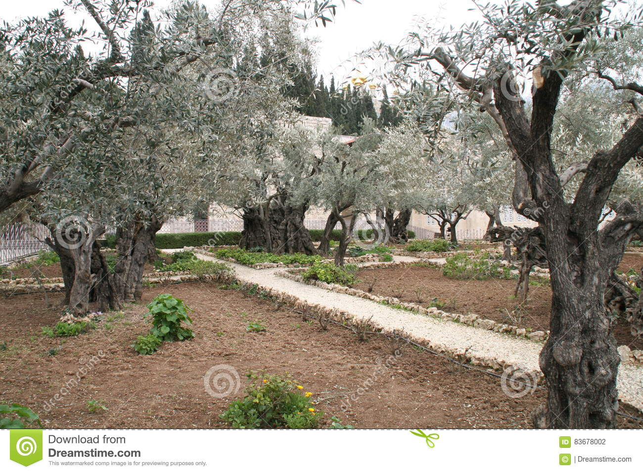 Olive garden near gethsemane in jeruzalem isra l stock foto afbeelding bestaande uit jesus What time does the olive garden close
