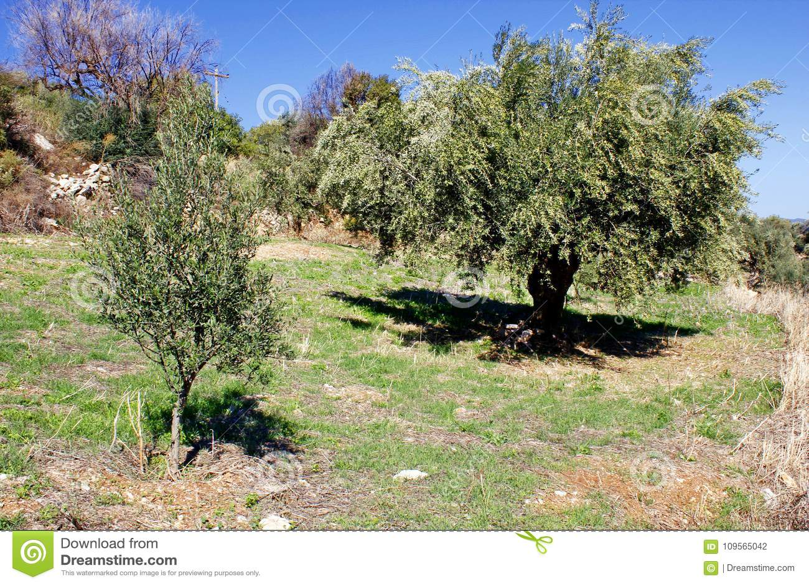 Olive grove in Kalamata, Peloponnese region, Greece.