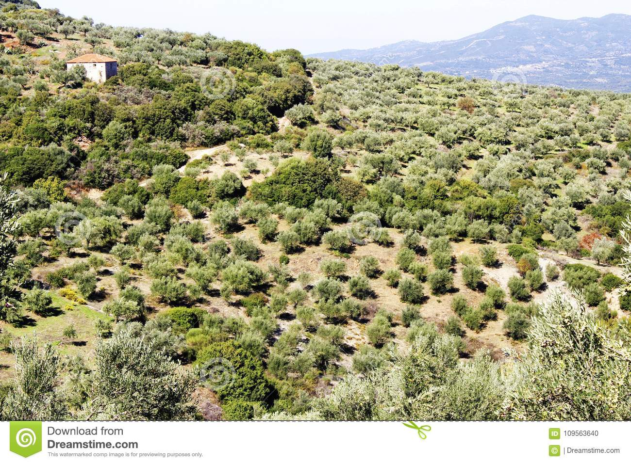 Olive grove with Koroneiki olives in Peloponnese, Greece