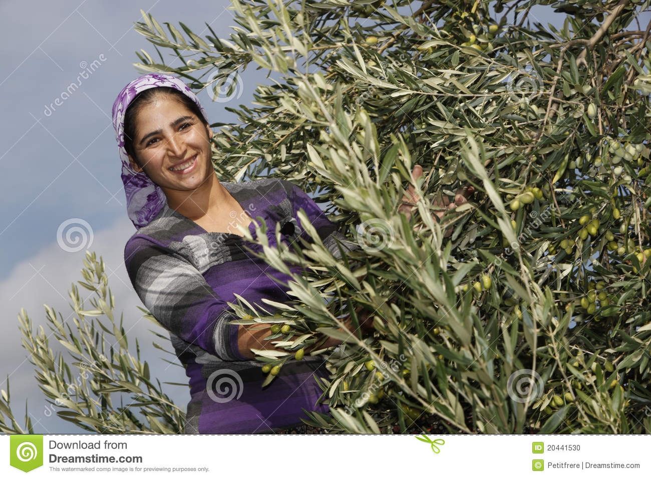 how to know when to harvest olives