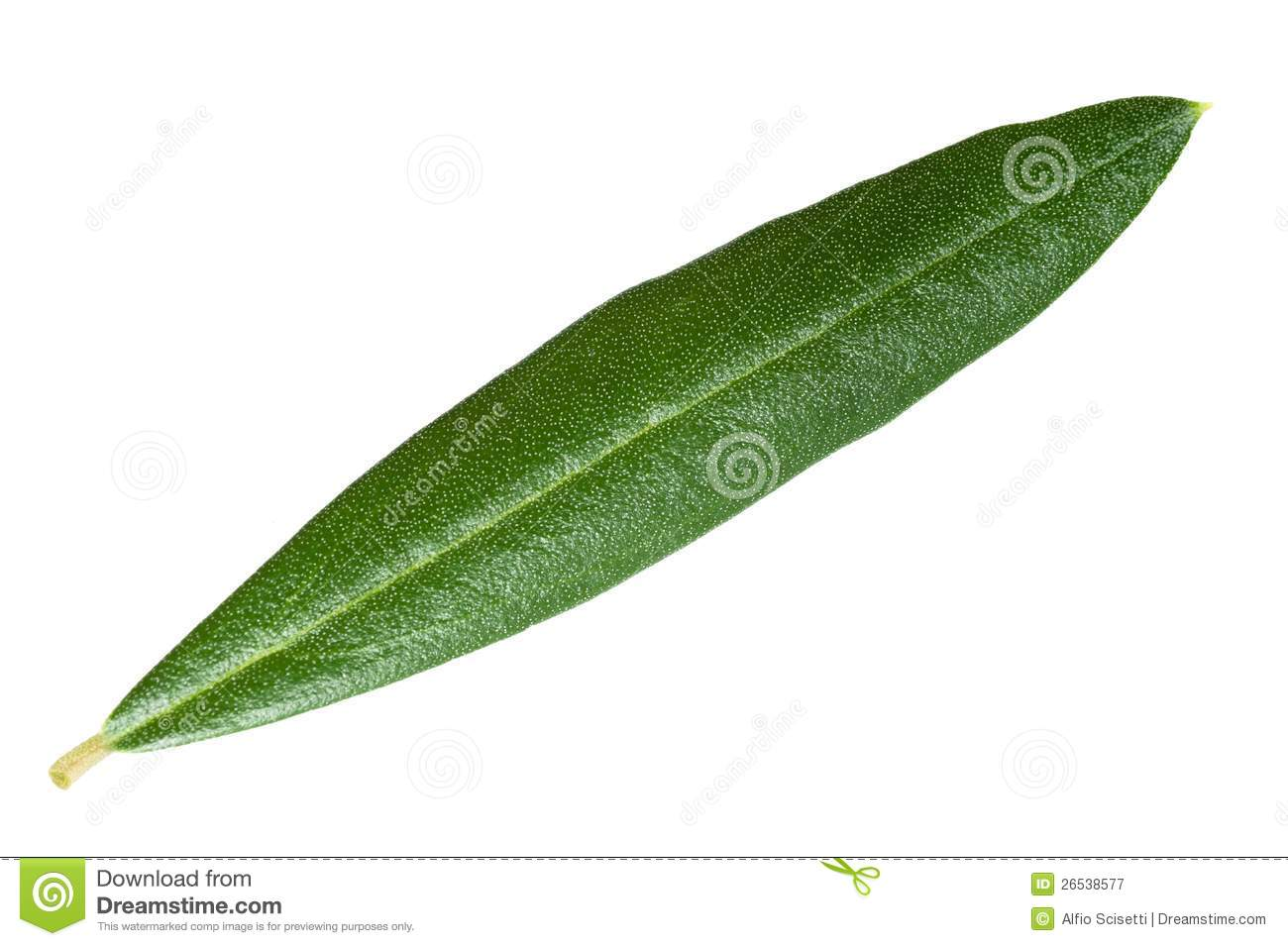 Olive Leaf Royalty Free Stock Photography - Image: 26538577