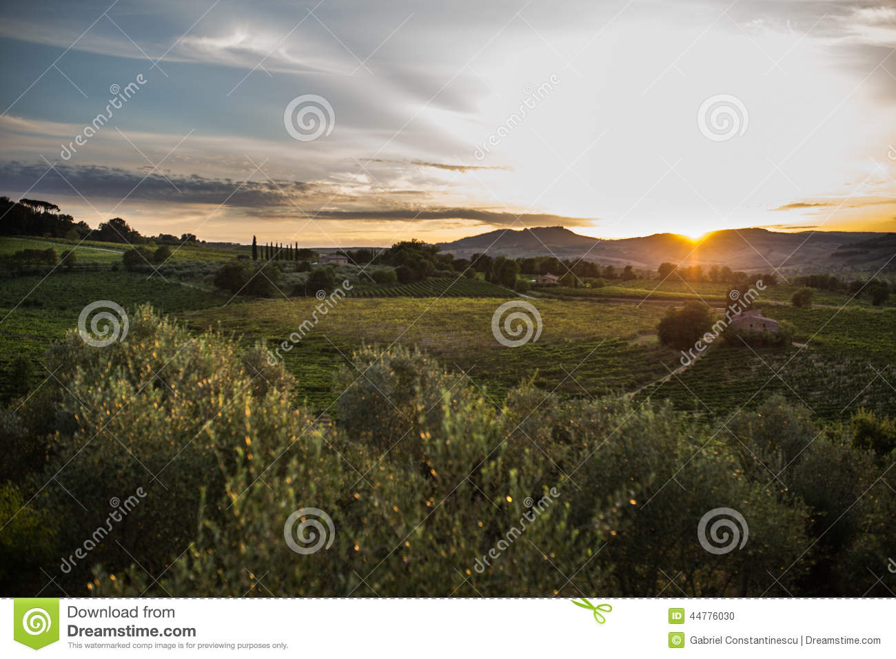 Olive orchard in sunset