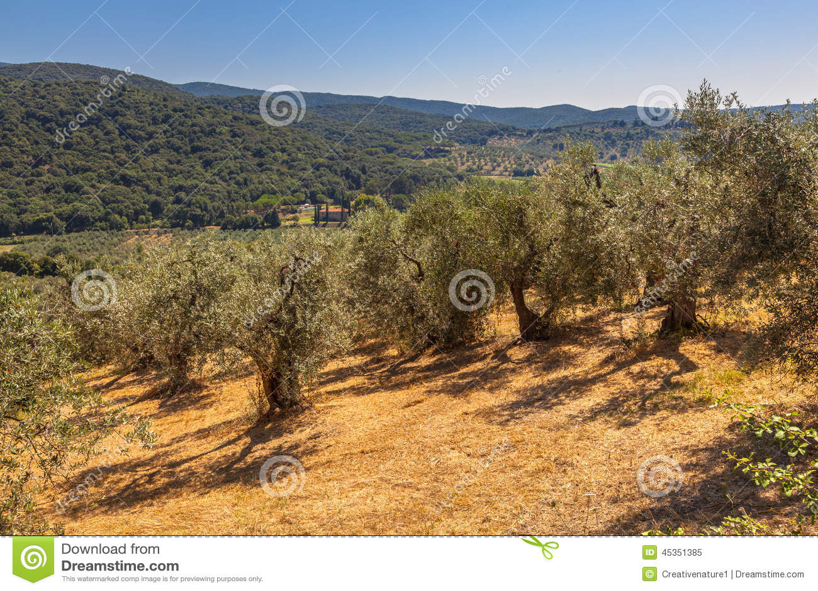 Olive Plantation en Toscane