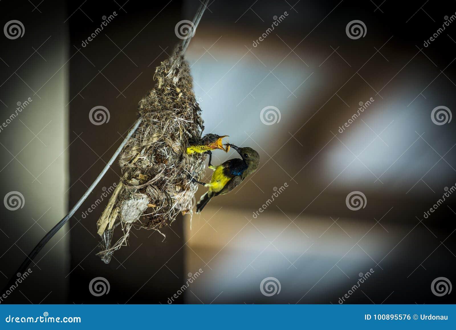 Olive podparty sunbird
