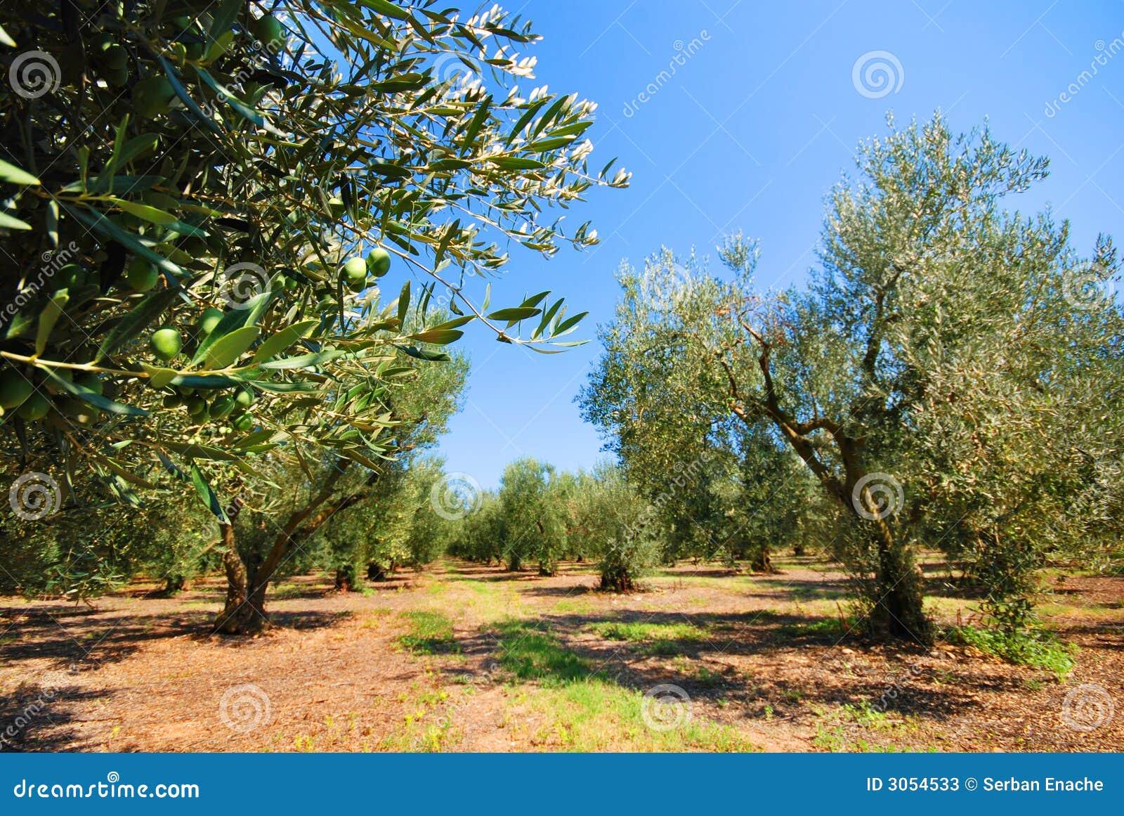 Olive sadu drzew