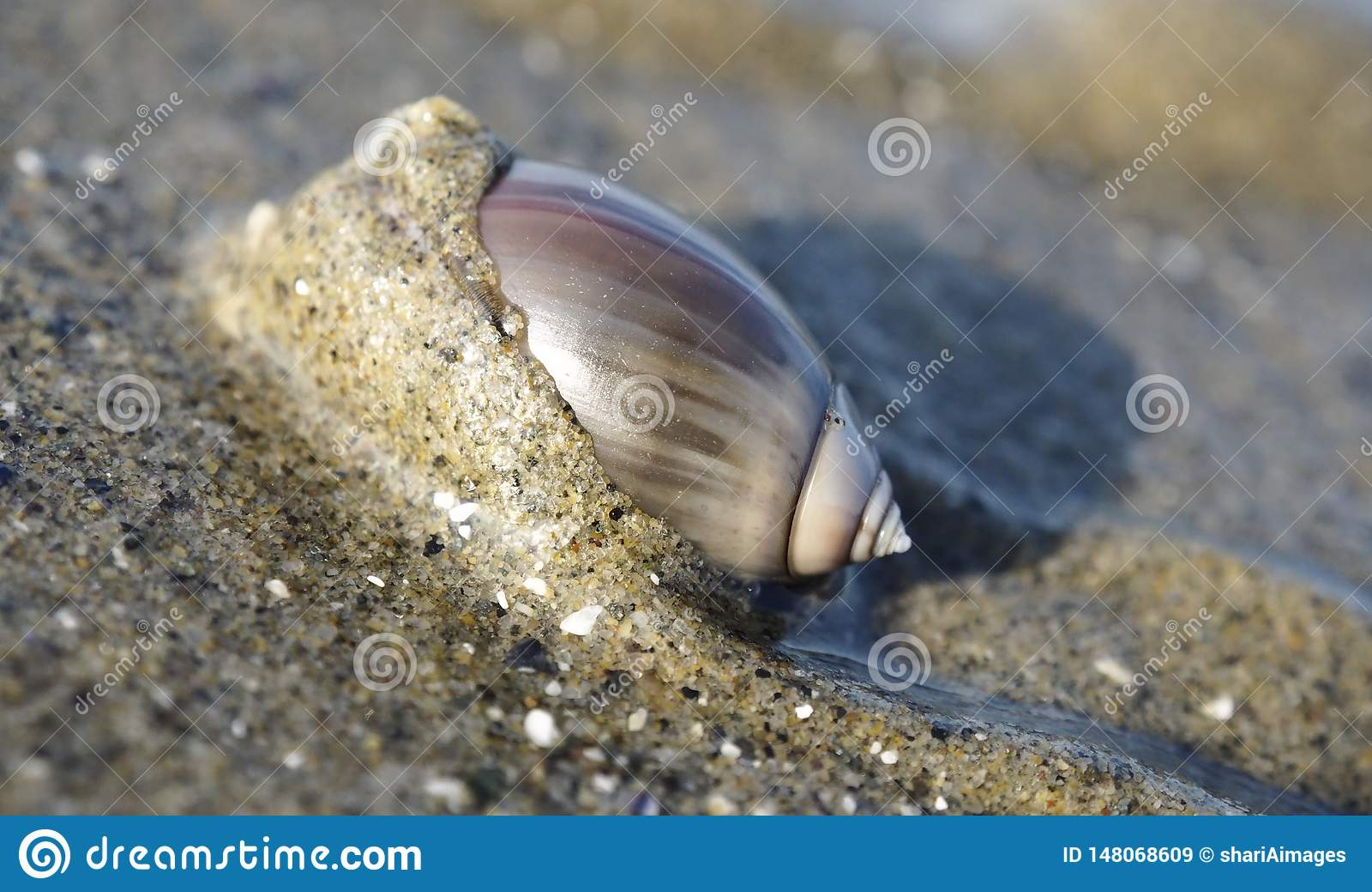 Olive Snail pourpre sur la plage