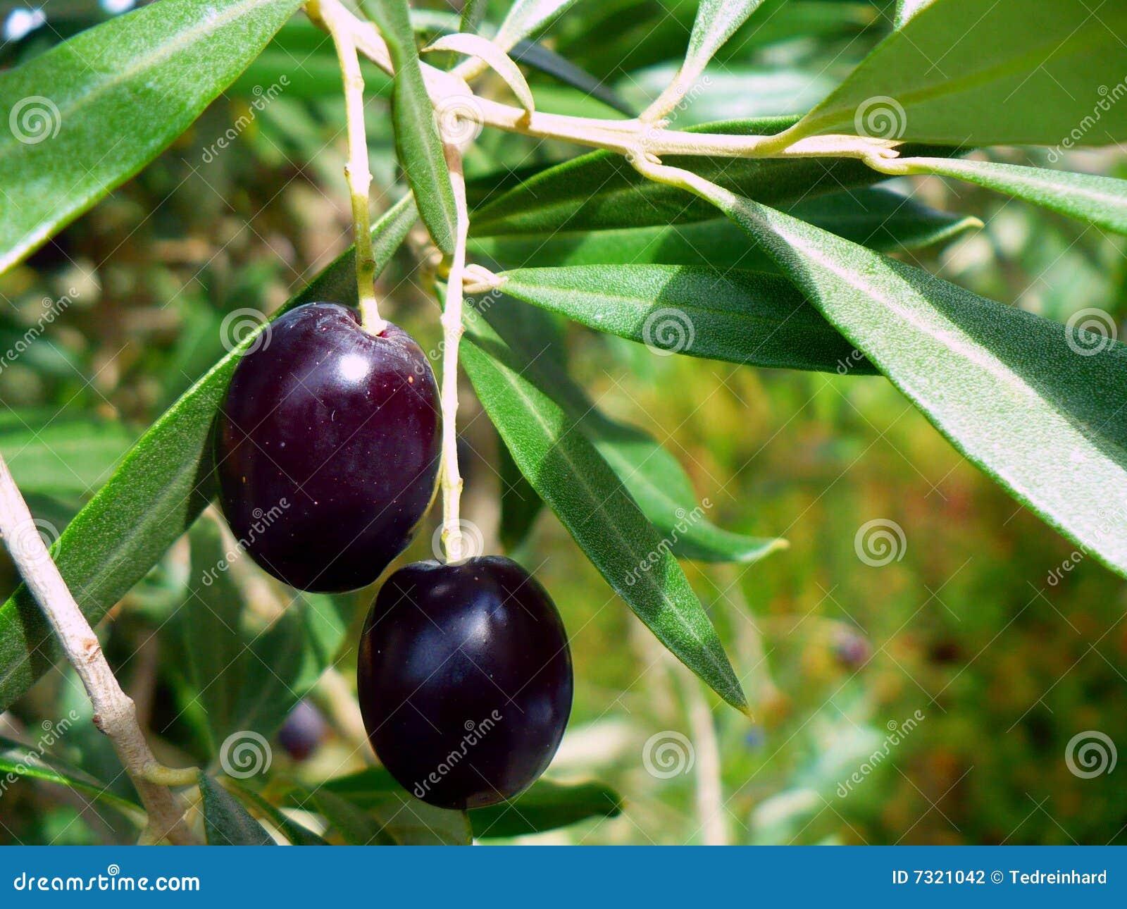 Olive sull albero