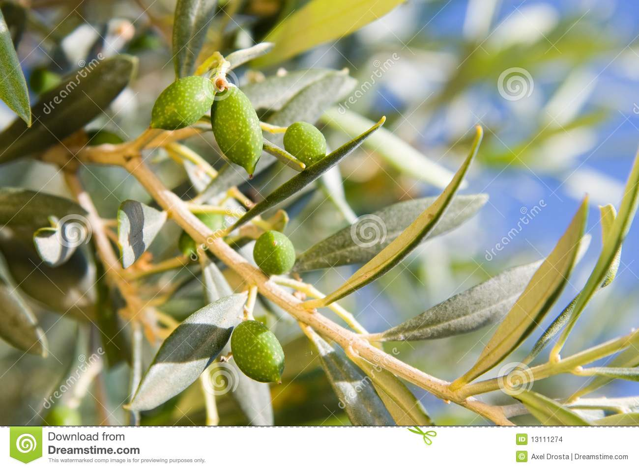Olive tree stock images image 13111274 What time does the olive garden close