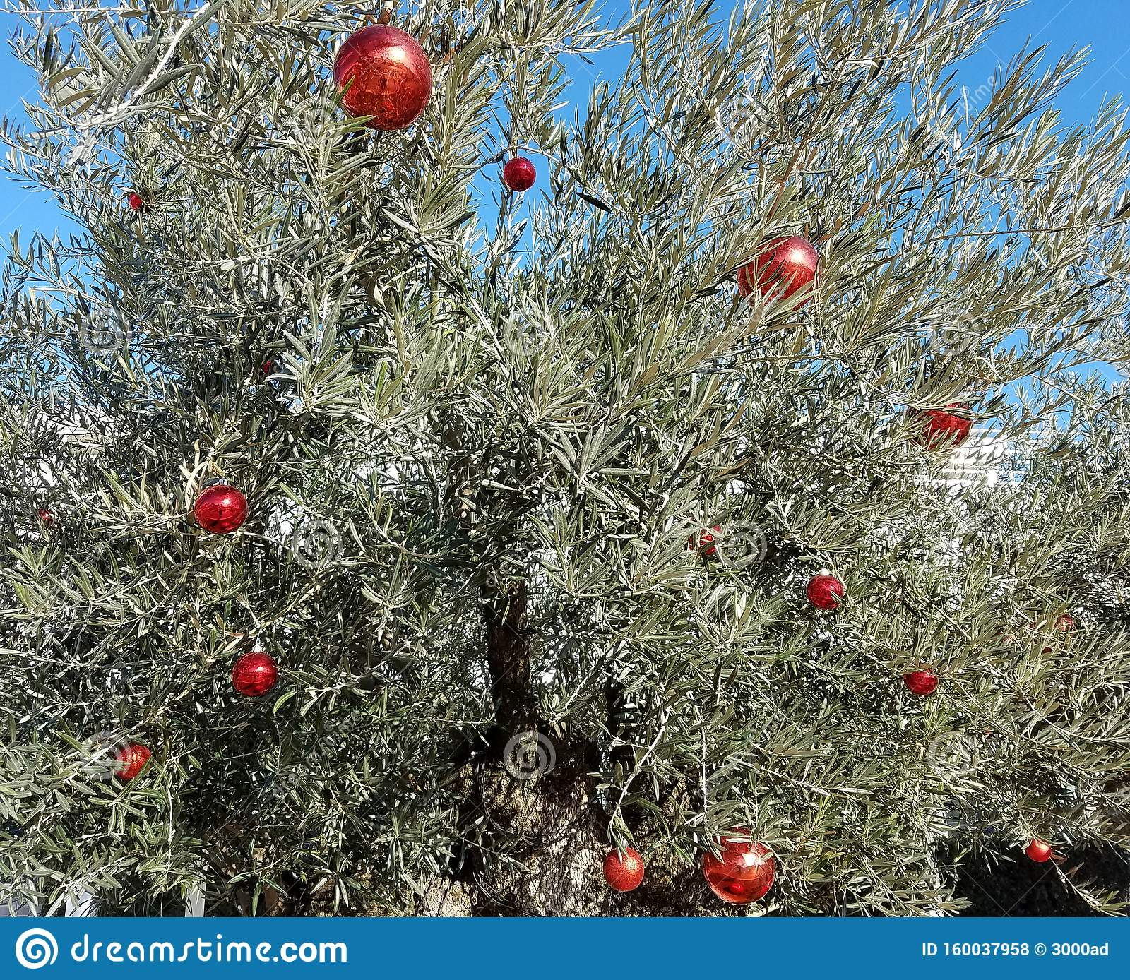 Olive Tree With Christmas Decorations Stock Photo Image Of Leaves Hanging 160037958