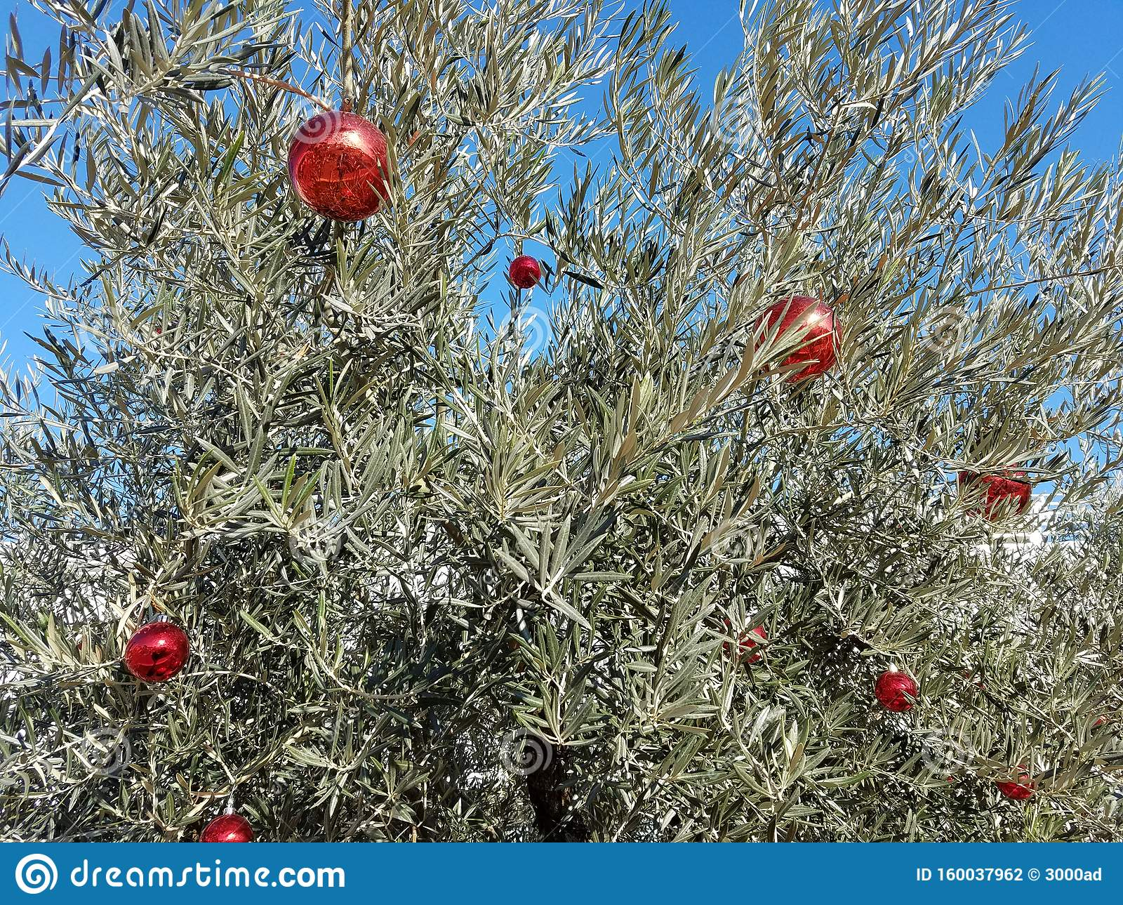 Olive Tree With Christmas Decorations Stock Photo Image Of Unusual Tropical 160037962