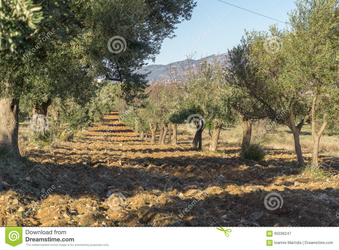 Olive Tree Cultivation Of Olives Stock Image - Image of italy ...