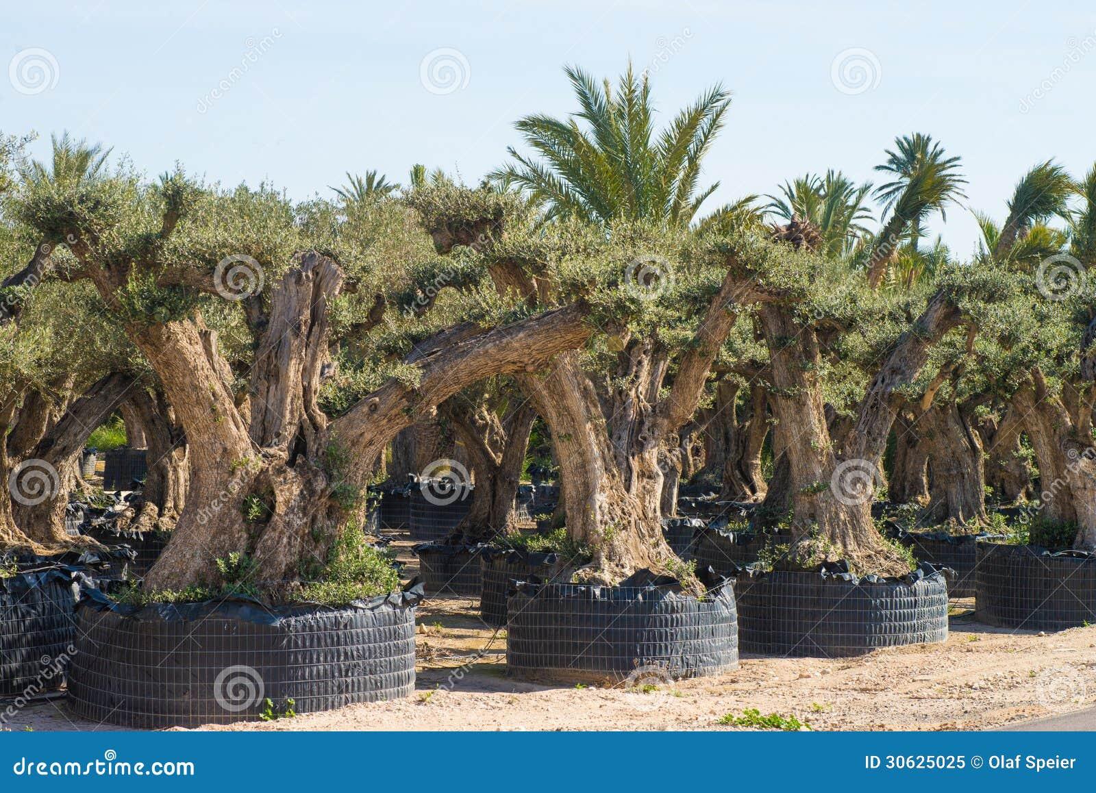 Olive Tree Farm Royalty Free Stock Photo Image 30625025