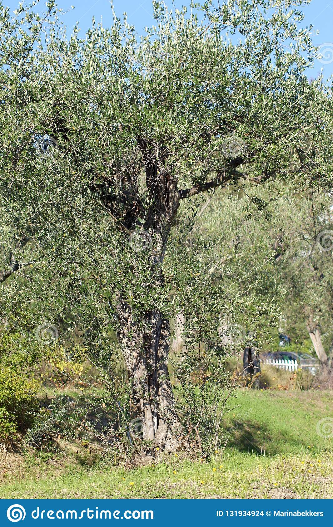 The olive tree in the garden