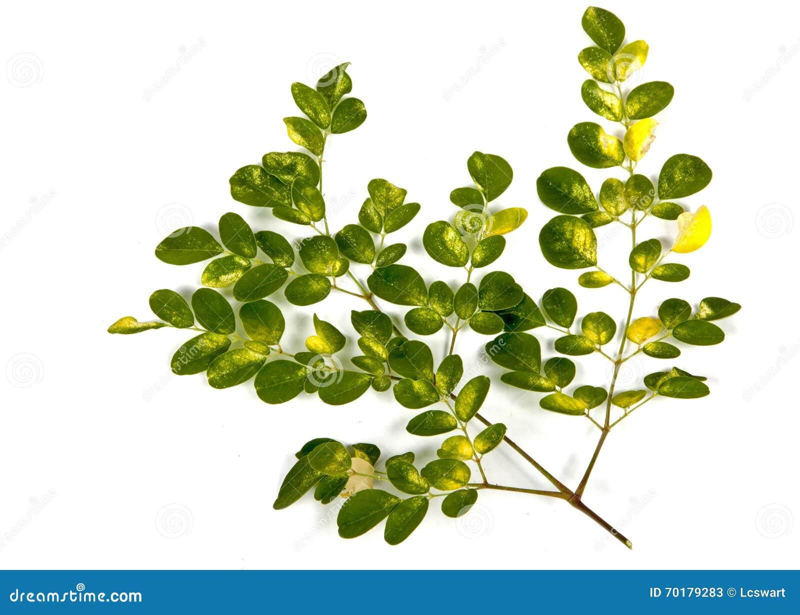 Olive Tree Green och guling mönstrade sidor på vit