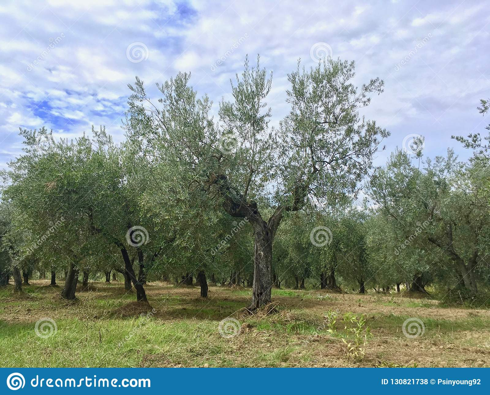 Olive tree in heard shape inside of the olive forest in Tuscany, Italy