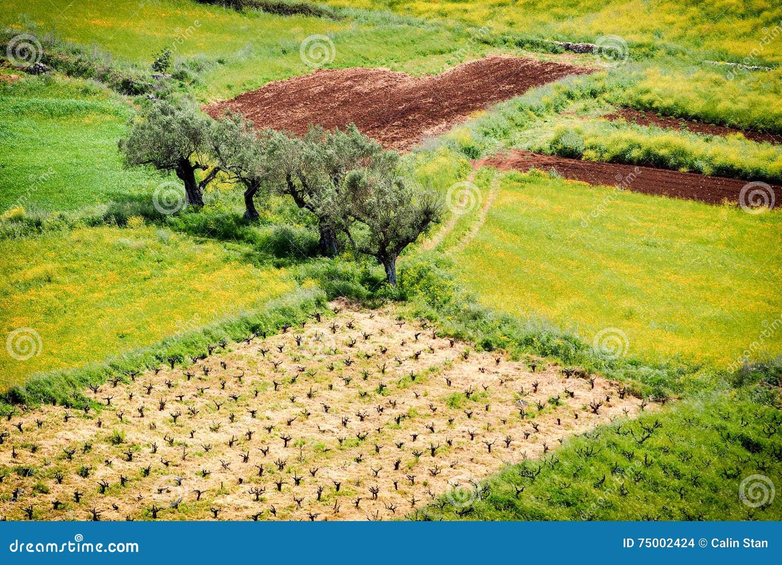 Olive Tree Plantation De bothanical naam van Oleaeuropaea Europees O