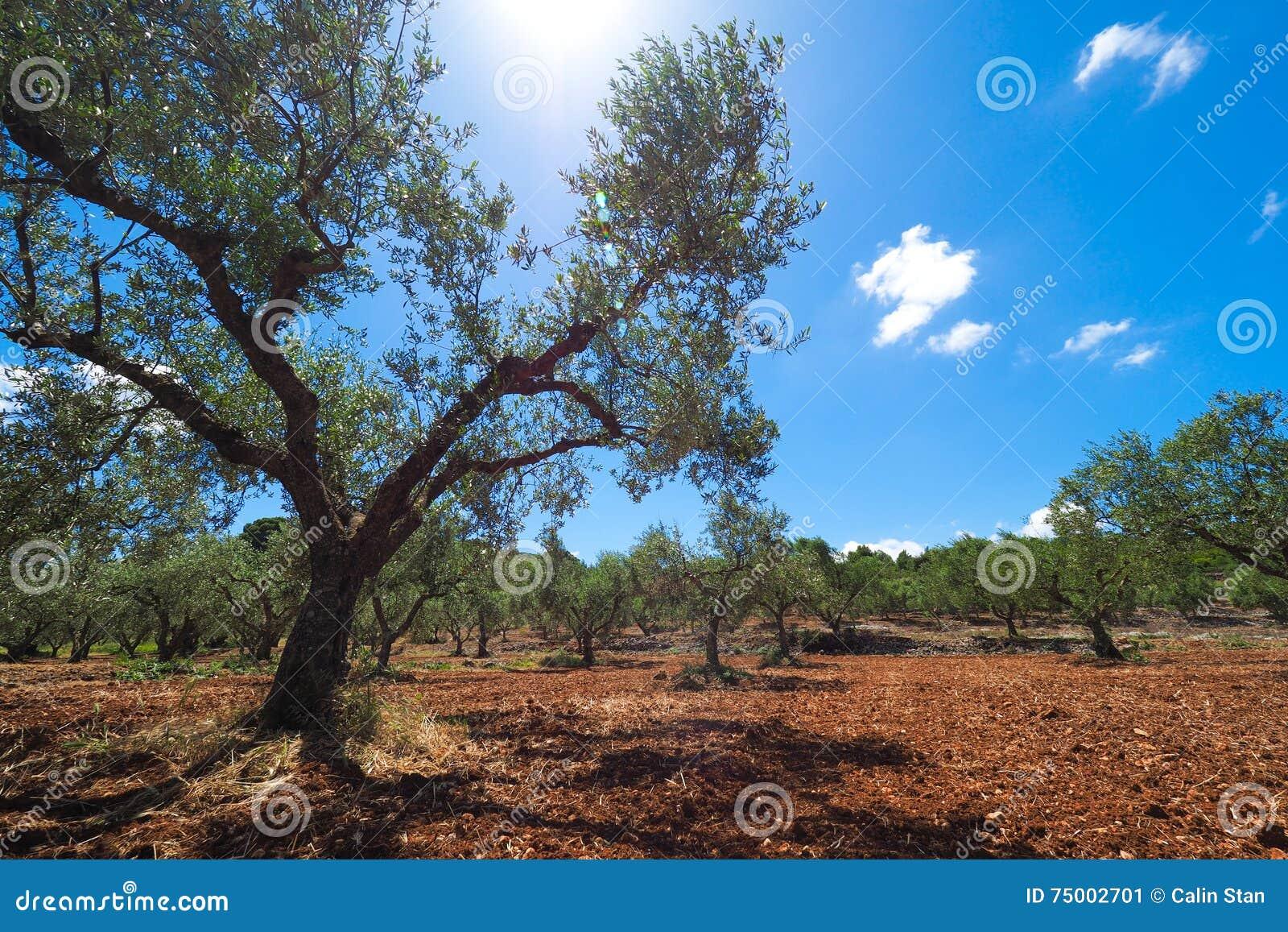 Olive Tree Plantation Europese Olive Oil-boom in isla van Zakynthos