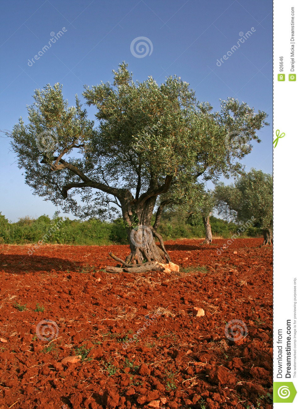 Olive tree on red soil