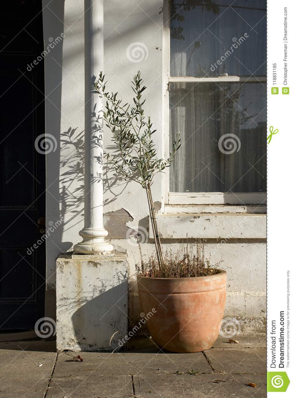 Olive tree in a terracotta pot outside the entrance to an old building