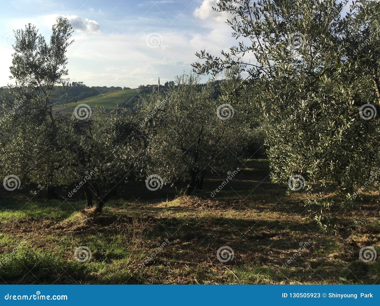 Olive Trees av den härliga Tuscanyen