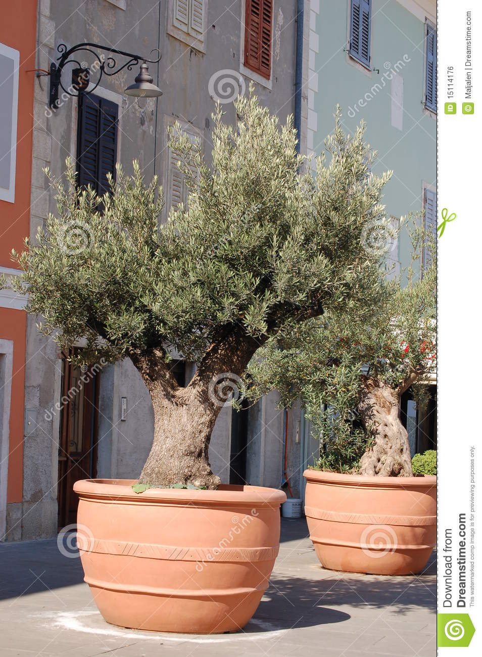 Olive Trees In Containers Royalty Free Stock Image Image 15114176