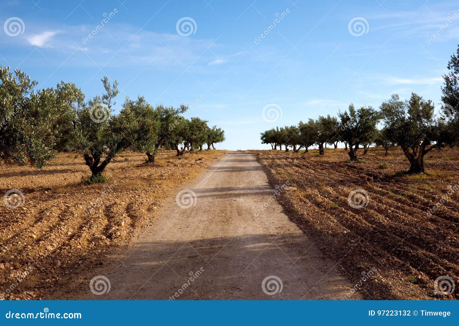 Olive Trees in een bosje