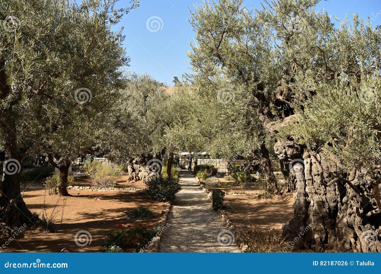 Olive Trees In The Garden Of Gethsemane, Jerusalem Stock Photo ...