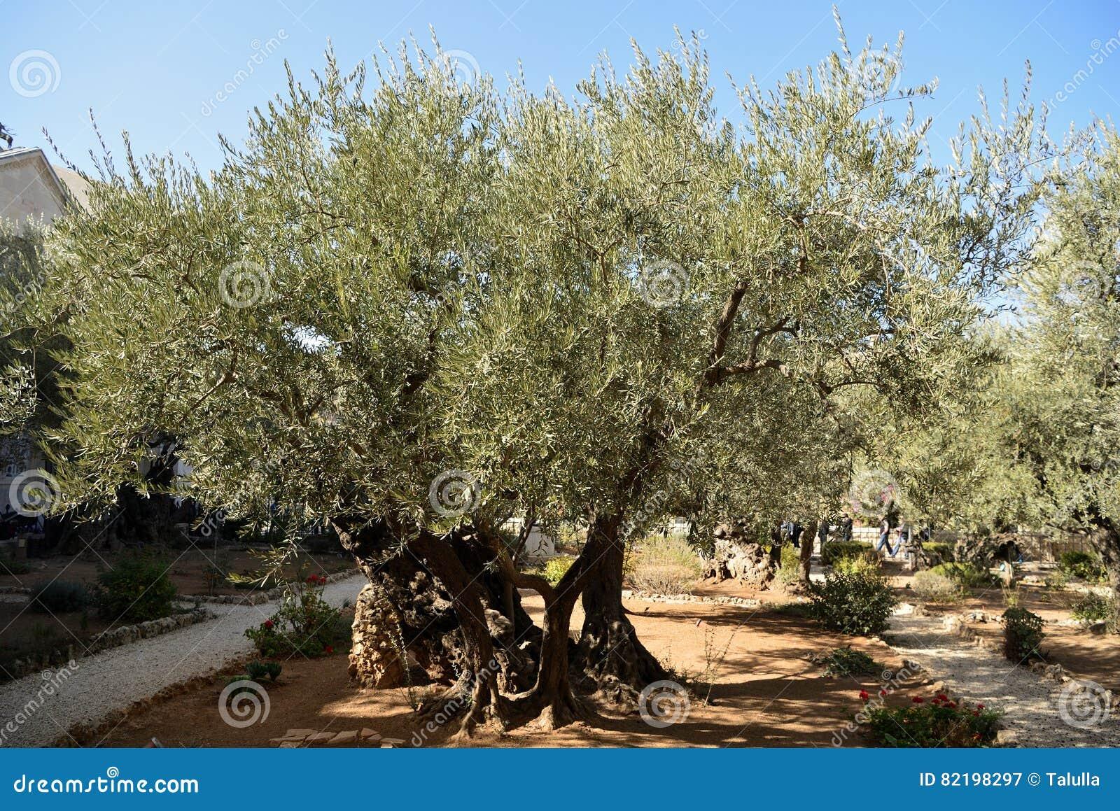 Olive Trees In The Garden Of Gethsemane, Jerusalem Stock Image ...