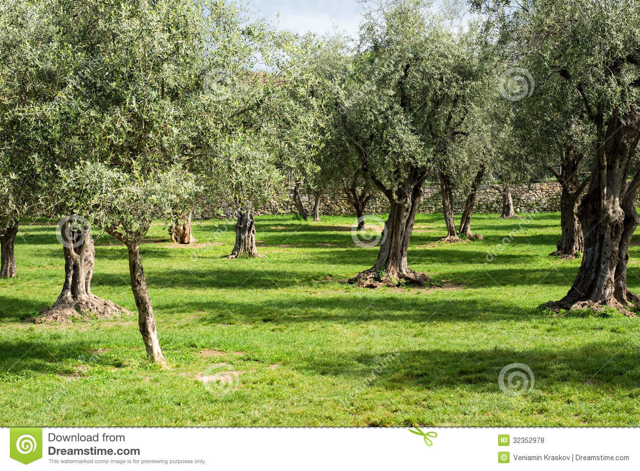 Olive trees royalty free stock photos image 32352978 What time does the olive garden close