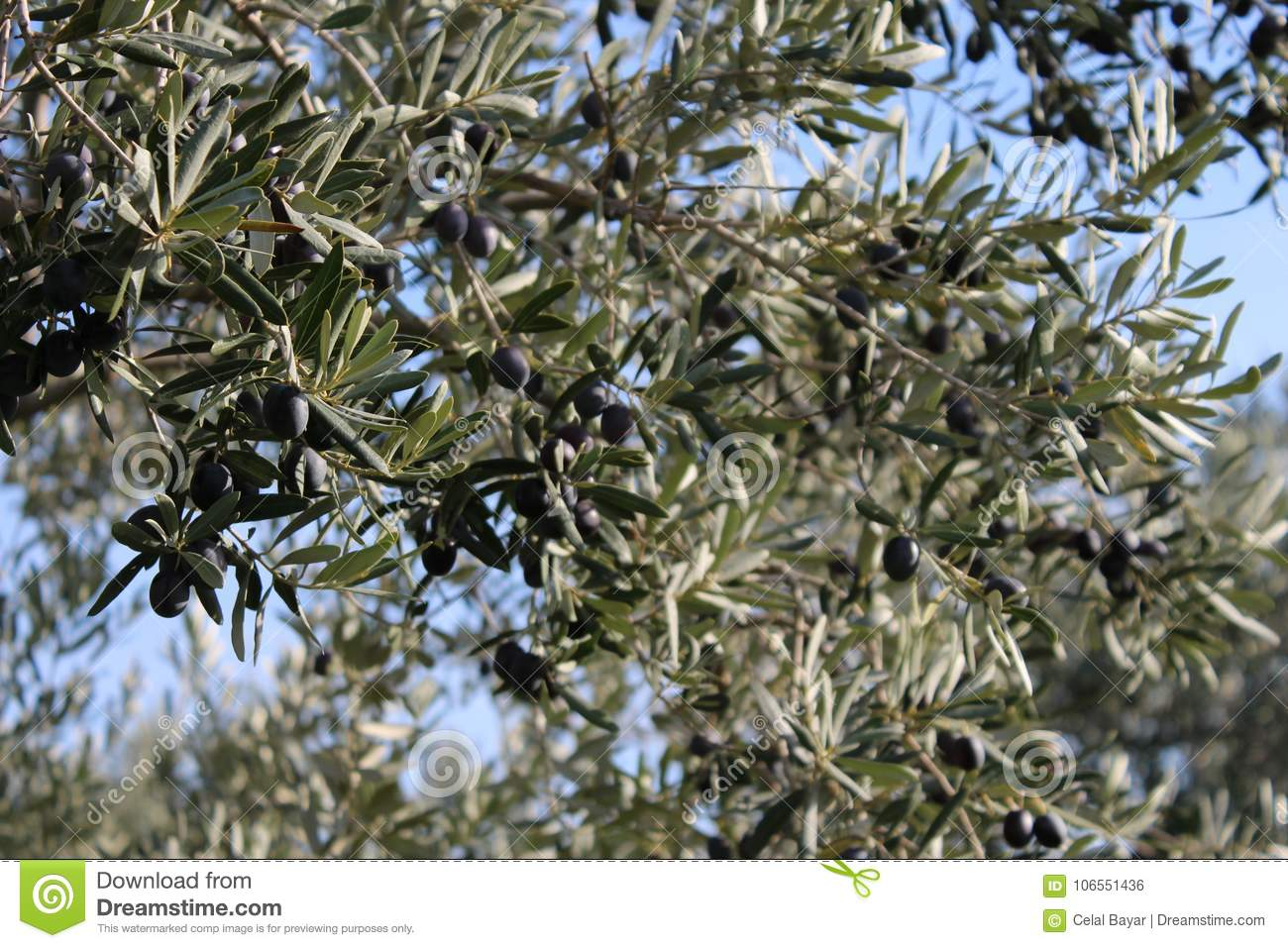 Olive trees and gardens