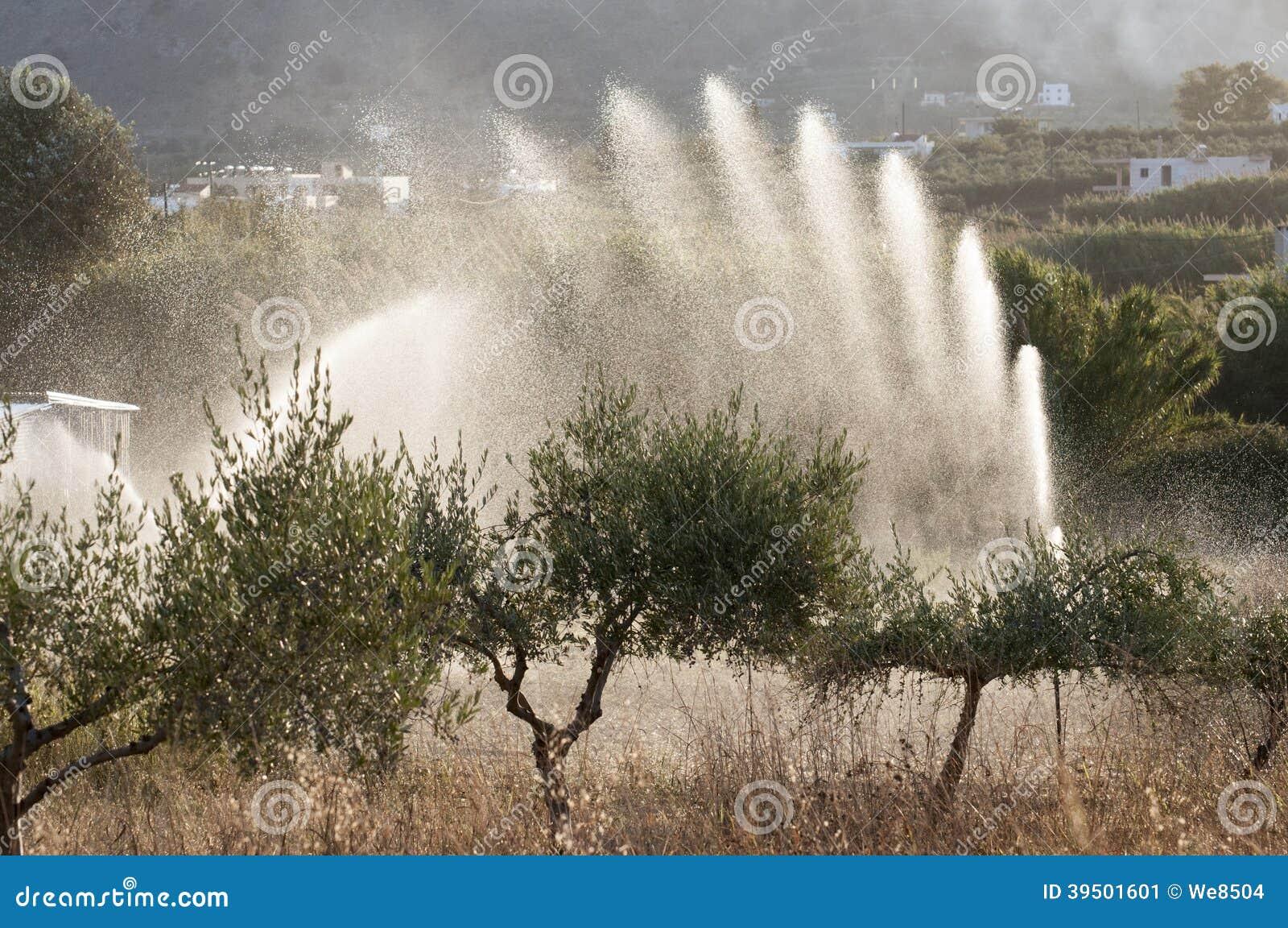 Olive trees irrigation