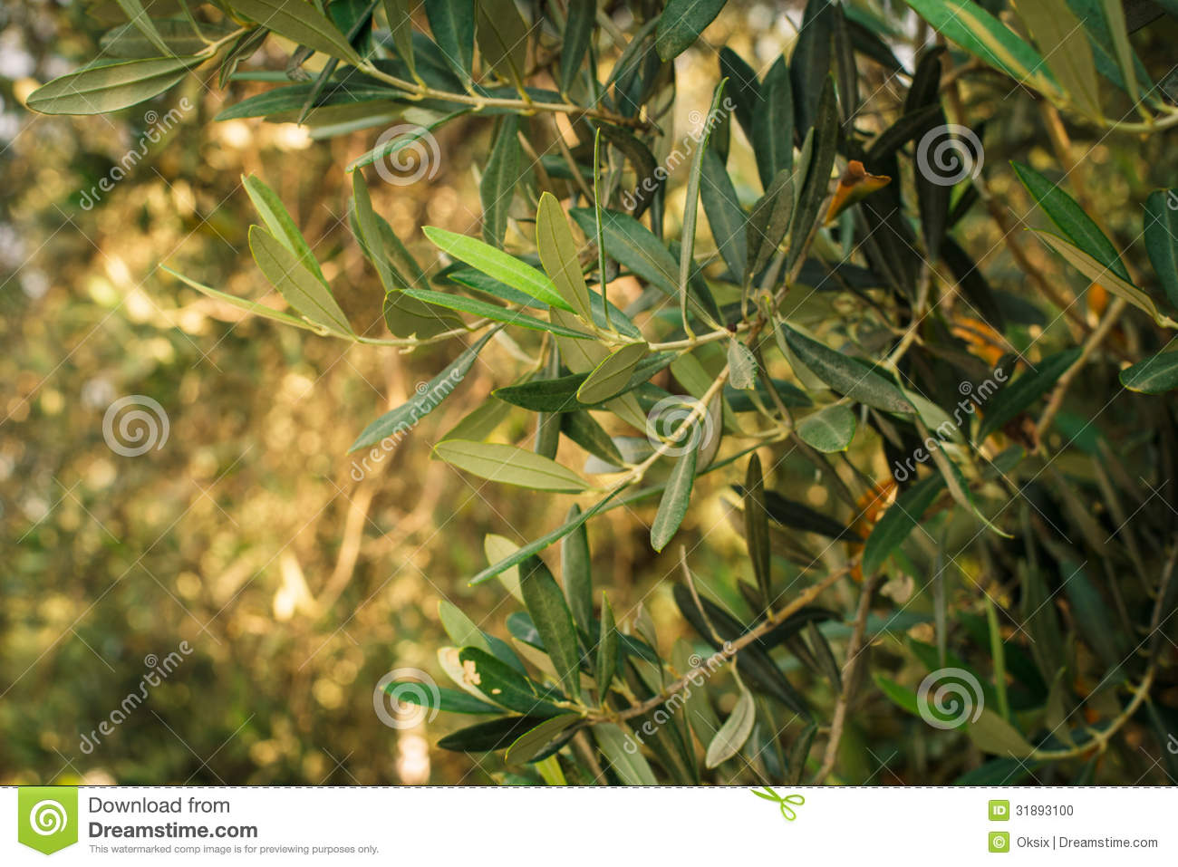Olive trees stock photo image 31893100 What time does the olive garden close