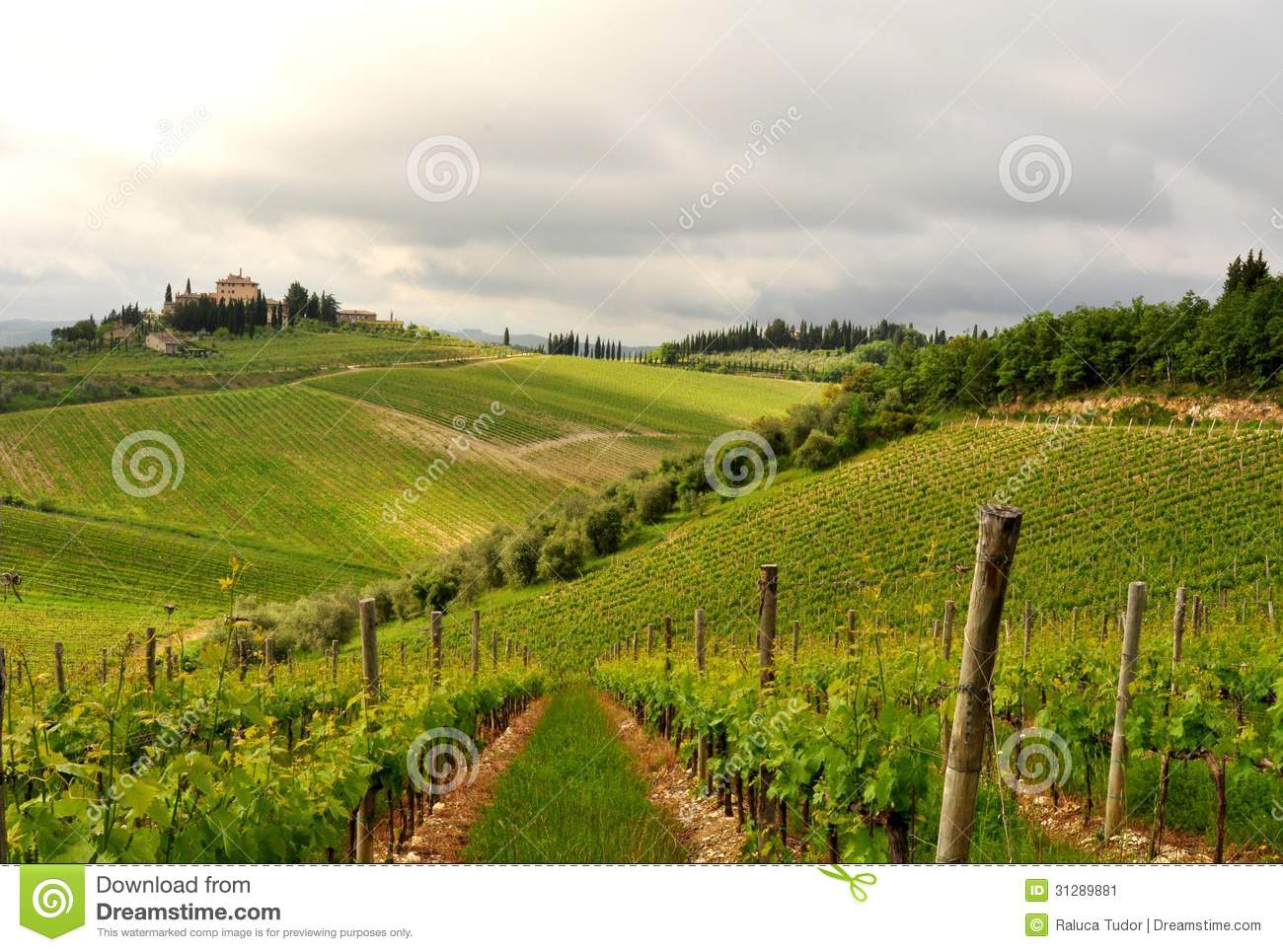 Olive trees and vineyards in tuscany italy stock image for Green italy