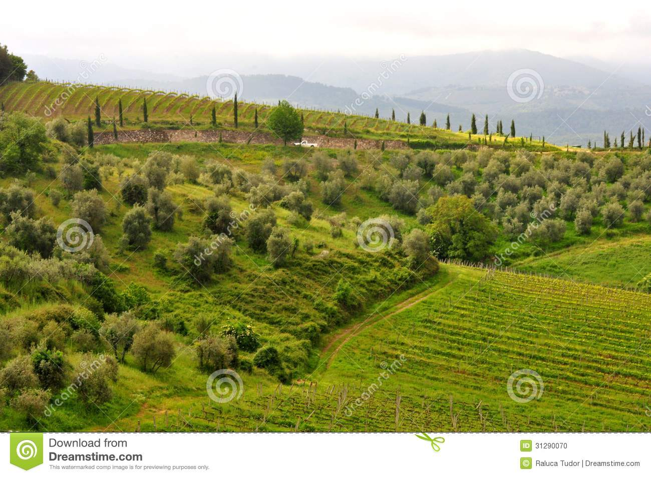 Olive trees and vineyards in tuscany italy stock photo for Green italy