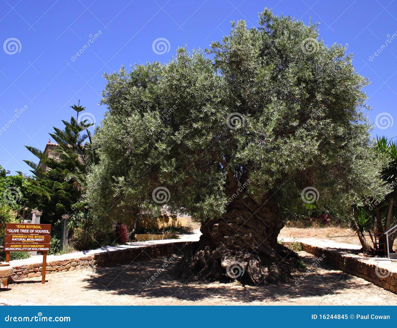 A oliveira a mais velha