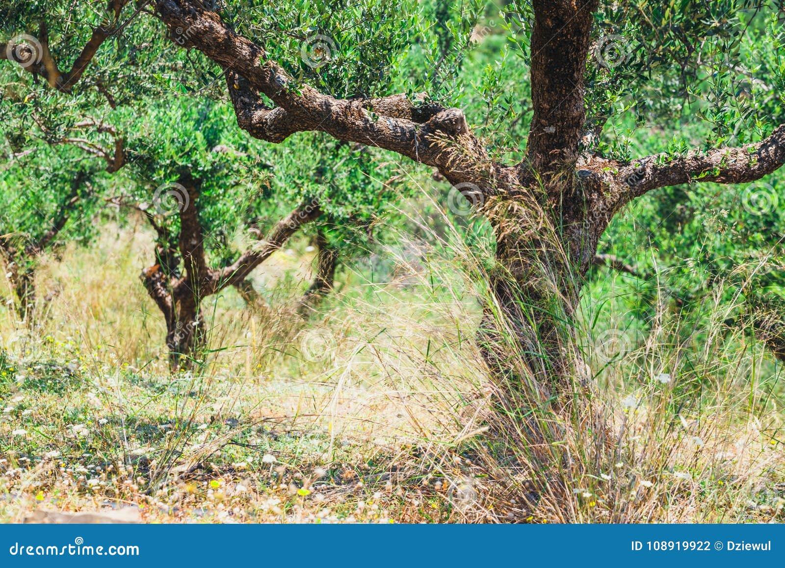 Oliveira só na Creta, jardim do Cretan