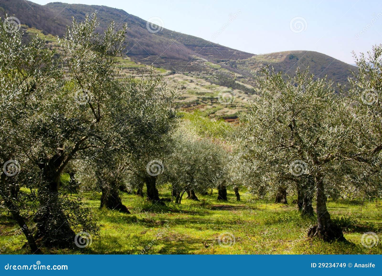 Download Oliveiras imagem de stock. Imagem de montanhas, país - 29234749