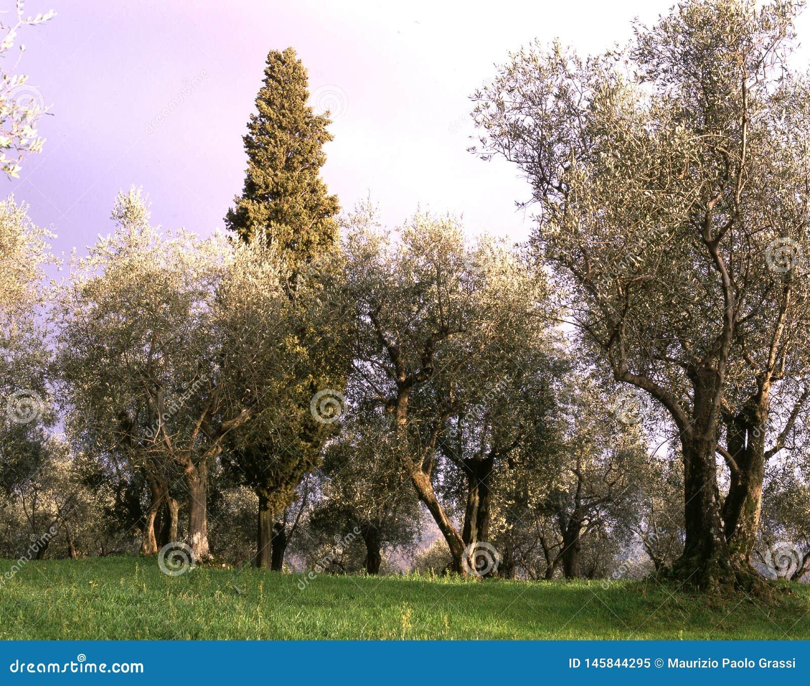 Oliveiras do campo Tuscan Paisagem com cultivo das oliveiras