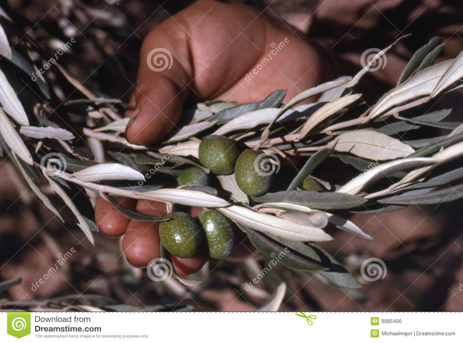 Oliven in der Hand
