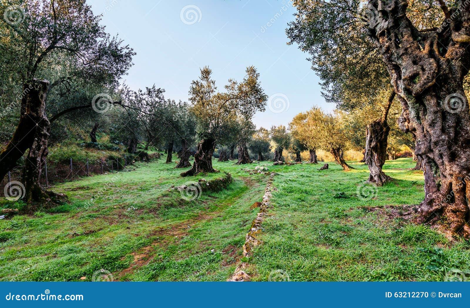 Olivenbäume im Herbst in Valdanos, Ulcinj, Montenegro